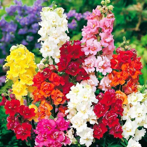 Ротики садові горщик d9