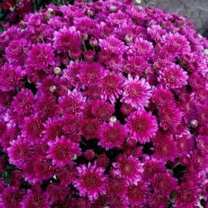 Хризантема горщик d9